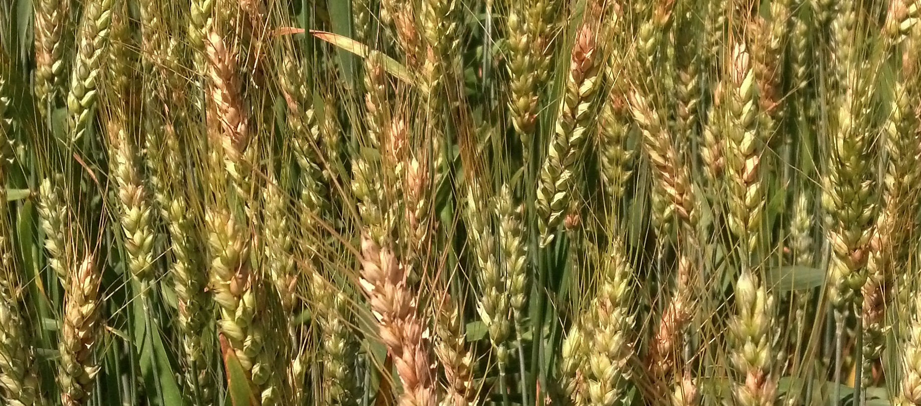 Wheat Head Blight – Thoughts on Managing DON