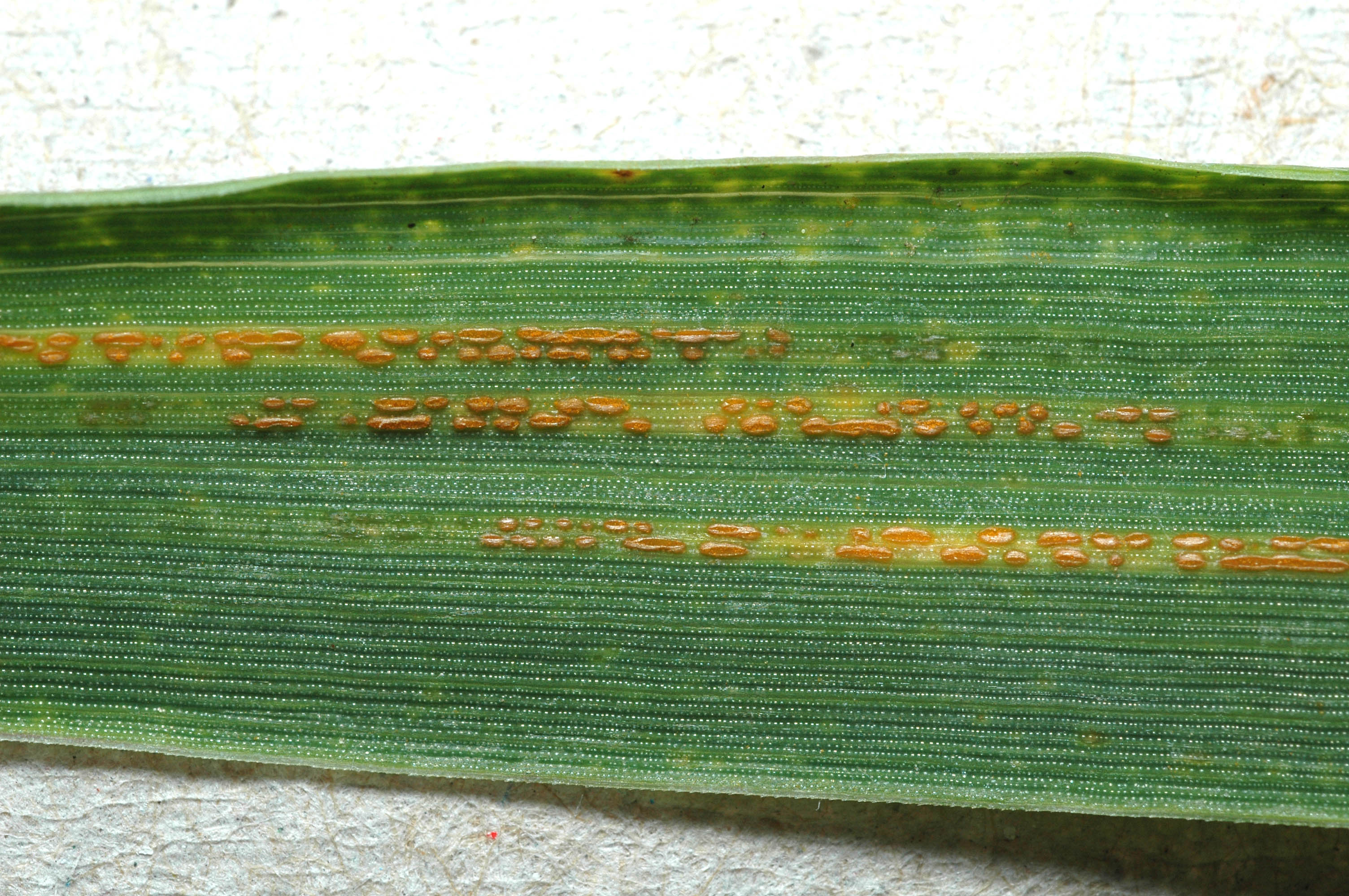 Stripe Rust of Wheat on the Move