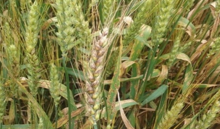 Glume Blotch in Wheat