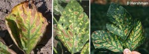 When scouting soybeans, don't just scout the foliage