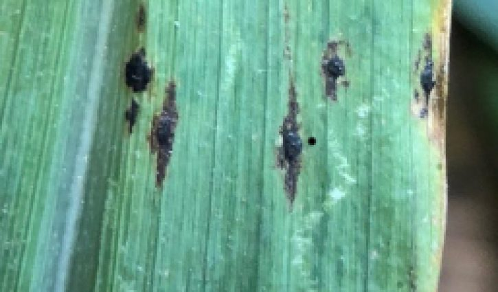Be on the lookout for Tar Spot on Corn