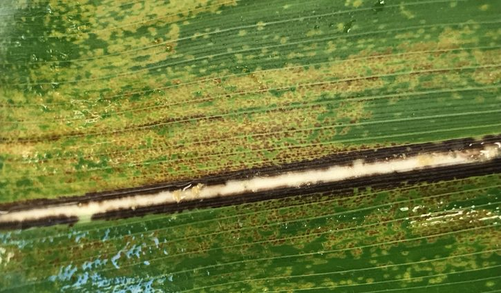 Physoderma Brown Spot and Node Rot in Corn