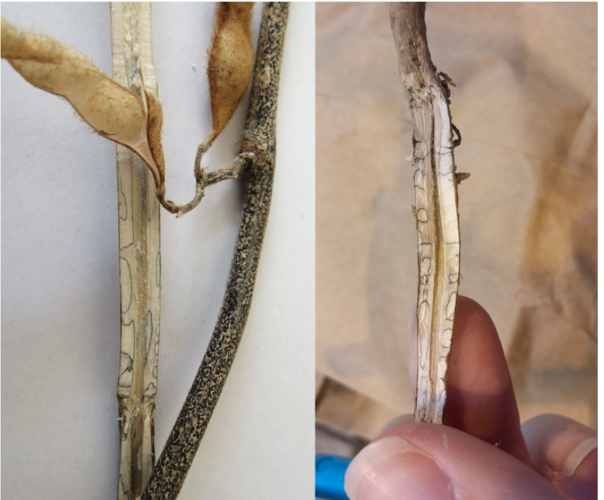 Stem zone lines do not indicate charcoal rot in soybeans
