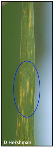 Cool season viruses in wheat
