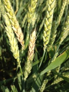 Assessing fields for Fusarium head blight and harvest considerations