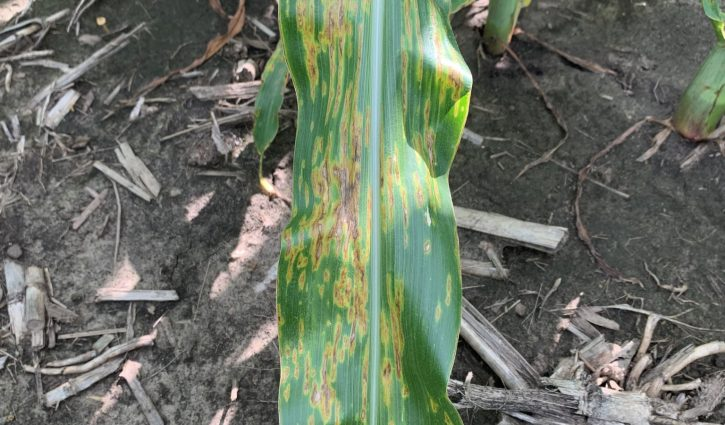 Bacterial leaf streak in Corn