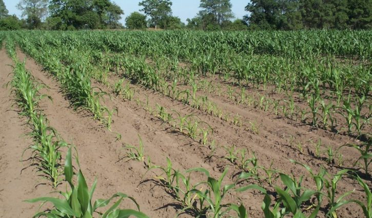 Corny Nematodes! Part one- thresholds and sampling
